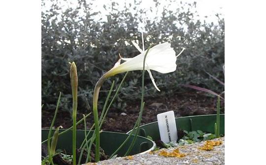 First bulbocodium flowering