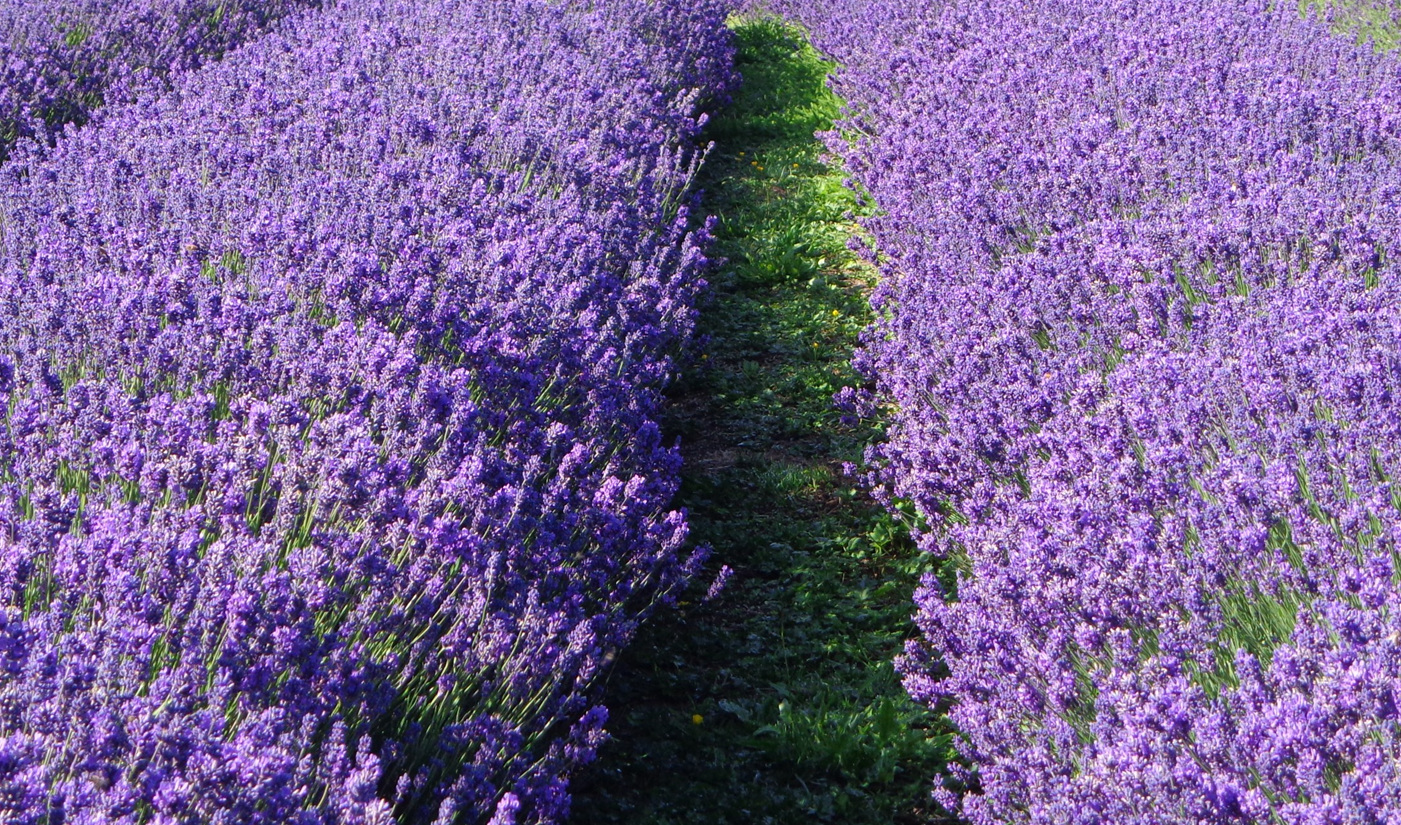 The lavender in full bloom, Pacific Blue ready for harvest