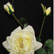 Rose Portland yellow 1094