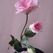 Lisianthus  Pink 1076 Cream 1073 Mauve 1074