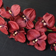 Phalaenopsis orchid dark red 1024