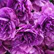 Peony with one bud purple 1182