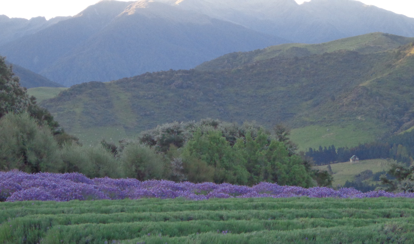 Halfway through the lavender harvest