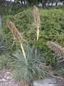 Aciphylla glaucescens