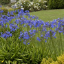 Agapanthus Blue Mountain