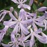 Agapanthus Gayles Lilac