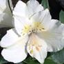 Alstroemeria Lauren