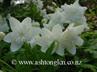 Anemone nemorosa Flore Pleno