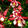 Aquilegia Crystal Star Red