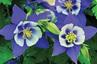 Aquilegia caerulea Origami Blue-White