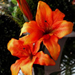 Lily  Asiatic  Red 1880 Orange 1879