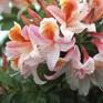 Azalea occidentale Delicatissima