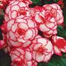 Begonia Picotee White/Red