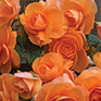 Begonia Roseform Apricot