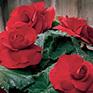 Begonia Roseform Red