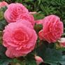 Begonia Ruffled Pink