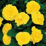 Begonia Ruffled Yellow