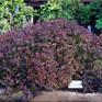 Berberis thunbergii Little Favourite