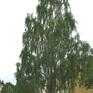 Betula pendula Lacineata