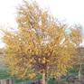 Betula pendula Wades Golden