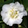 Camellia Gay Sue