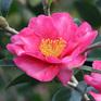 Camellia Kanjiro (Hirui)