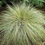 Carex coman Frosted Curls