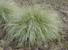 Carex comans Green Form