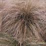 Carex comans var Red