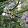 Carmichaelia Lilac Bouquet