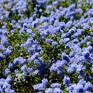 Ceanothus Blue Carpet