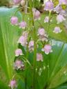 Convallaria majalis rosea