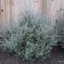 Corokia cotoneaster var cheesemanii