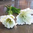 Tulip white Large frilled edge Black stameins 1133