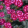 Dianthus Cranberry Ice