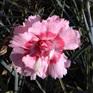 Dianthus Doris Supreme