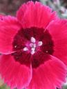 Dianthus Red Dwarf