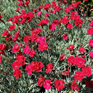 Dianthus Ruby