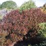Dodonaea viscosa var purpurea