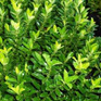 Euonymus fortunei Emerald Gem