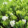 Hebe buxifolia