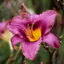 Hemerocallis Russian Rhapsody
