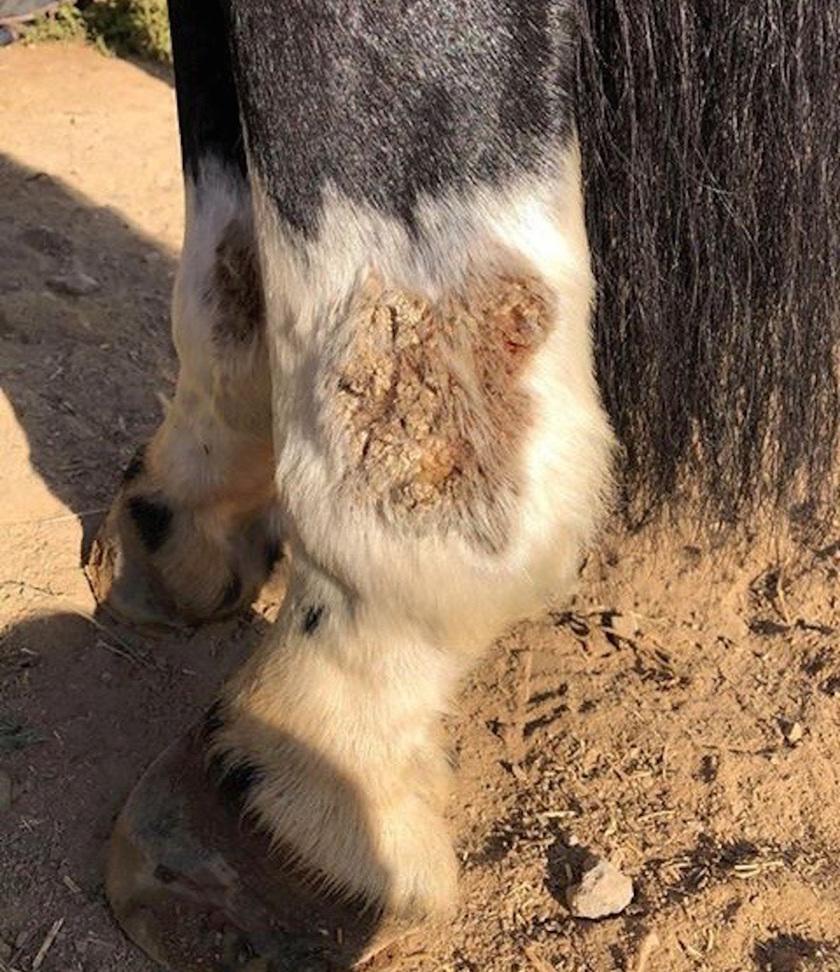 Hope Beerling's Horse Aussie - Greasy Heel on 24 Aug 2018