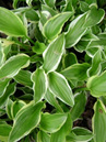 Hosta 'So Sweet'