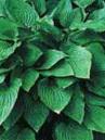 Hosta undulata erromena