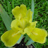 Iris Dwarf Bearded 'Laced Lemonade'