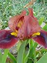 Iris Dwarf Bearded 'Little Buccaneer'