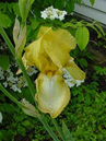 Iris Tall Bearded - Yellow