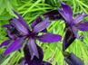 Iris chrysographes 'Black Form'