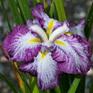 Iris ensata Harlequinesque